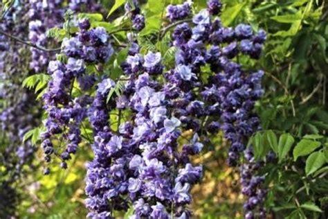 purple flowered vine flowering vines purple purple flowering vines flowering vines