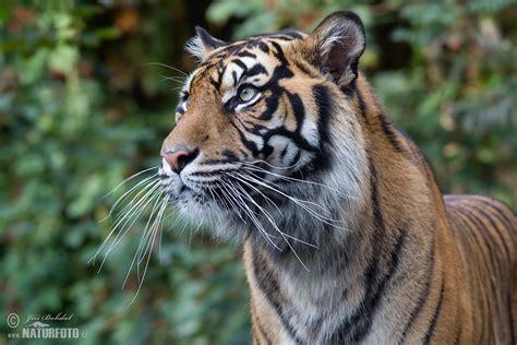 Tiger Photo by Sumatran Tiger Photos Sumatran Tiger Images Nature