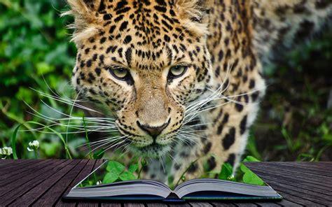 wallpaper leopard book hd animals
