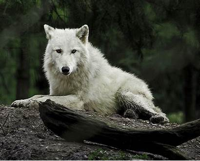 Wolf Nature Animated Animal Wolves Gifs Photograph