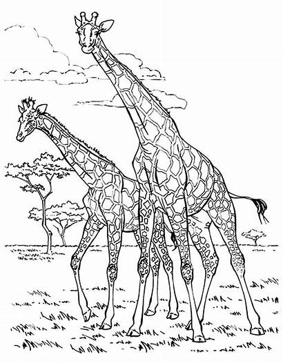 Coloring Giraffes Pages Adult Adults Children Printable