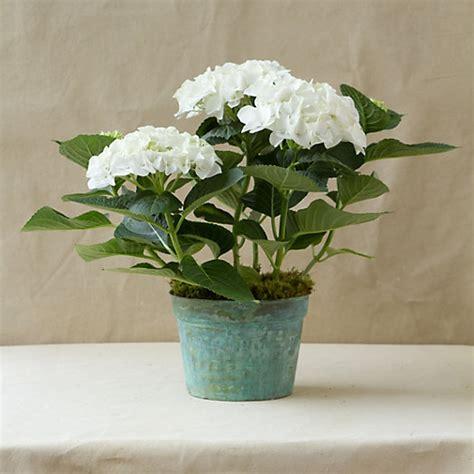 white robe hydrangea verdigris pot terrain