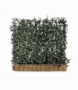 Immergrüne Kletterpflanze Für Zaun : hecke am laufenden meter efeu 100 cm dehner ~ Michelbontemps.com Haus und Dekorationen