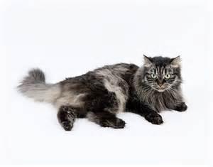 siberian forest cat siberian cat