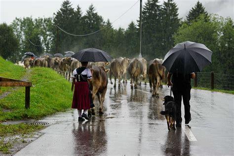 picture people umbrella rain cattle sky outdoor