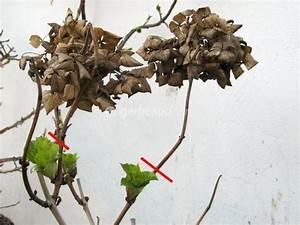 Comment Tailler Les Orchidées Pour Qu Elles Refleurissent : hortensia la taille ~ Melissatoandfro.com Idées de Décoration