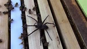 Faire Fuir Les Araignées : une araign e se fait attaquer par des abeilles vid o ~ Melissatoandfro.com Idées de Décoration