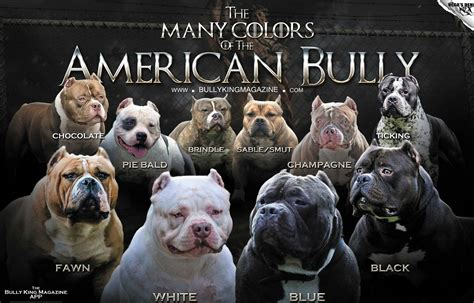 pitbull coat colors the many colors of the american bully bully king