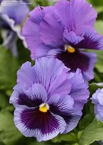 PlantFiles Pictures: Pansy 'Frizzle Sizzle Blue' (Viola x ...