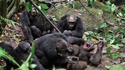 gombe chimpanzee war  year violent conflict