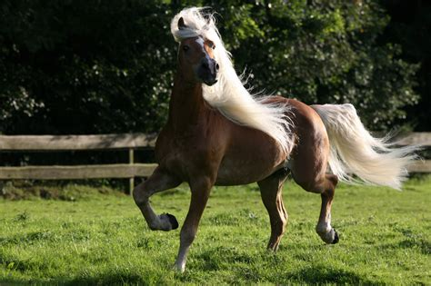 horse domestic horses animals wallpapers