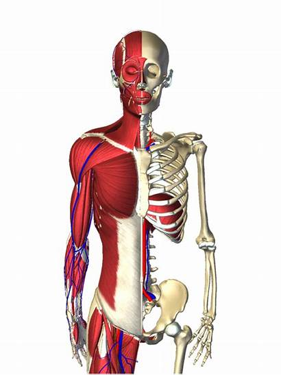3d Human Anatomy Motion Intuitive Covering Entire