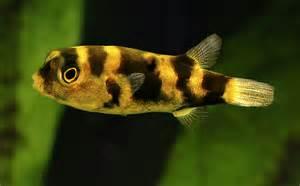 Rare Freshwater Aquarium Fish