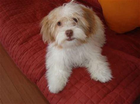 kyi leo dog lhasa apso  maltese mix info temperament