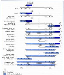 Reverse Transcription Of Retrovirus Rna Genomes  The