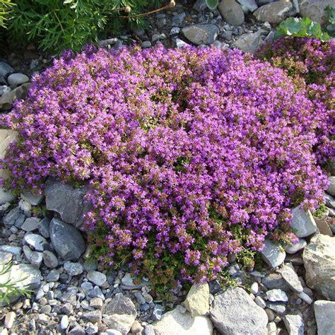 Anspruchslose Garten Pflanzen by Garten Thymian 3 Pflanzen Kaufen Bestellen