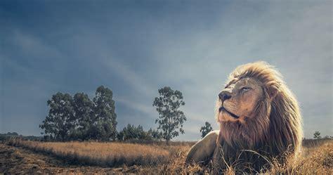 King Of Beasts 38 4k Ultra Hd Wallpaper