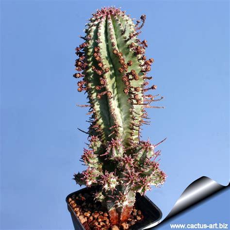 euphorbia growing conditions euphorbia pseudomammillaris