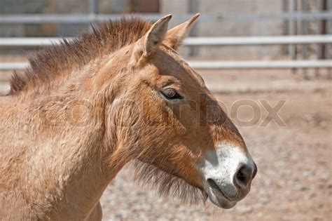 horse asia wild central przewalski dzungarian rare native endangered steppes subspecies colourbox