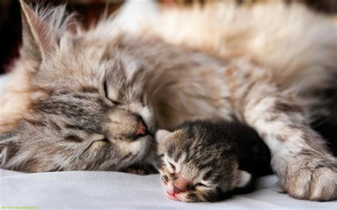 baby cats mama and cat on pinterest ginger kitten kittens and cute baby kittens