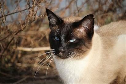 Breeds Cat Cats Most Popular 1920 Bring