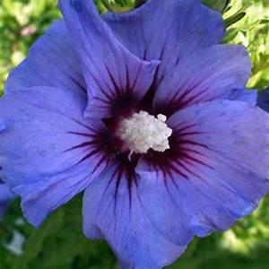 Taille De L Hibiscus : acheter alth a hibiscus ultramarina pas cher au ~ Melissatoandfro.com Idées de Décoration