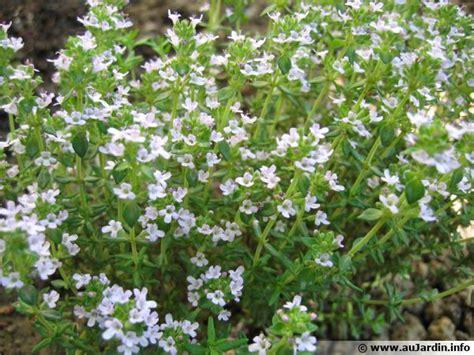 fleur de thym cuisine thym thymus conseils de culture