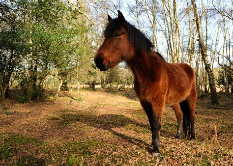 forest england pony ponies wild east south wednesday inspiration wikipedia rightmove property which roam known well