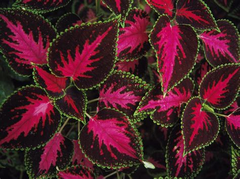 coleus plants flora of southern south america