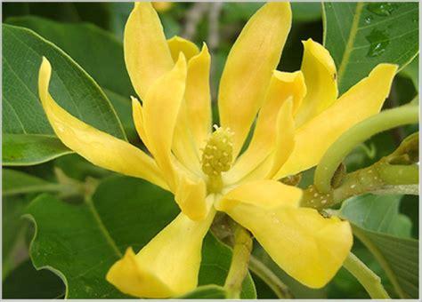 jual bibit tanaman hias bunga kenanga lapak