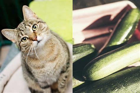 cucumbers cats afraid why scared being frightened cat reasons behind viral vegetable