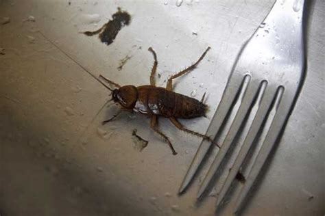 how to get rid of cockroaches in kitchen cabinets how to get rid of roaches in kitchen drawers wow blog