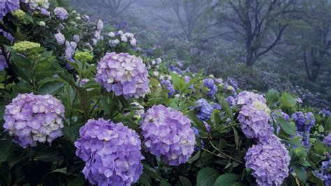what is a hydrangea flower photos of nature photos of hydrangea flowers