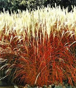 Rotes Gras Winterhart : ziergr ser pflege tipps pflanzen schneiden standort ~ Michelbontemps.com Haus und Dekorationen