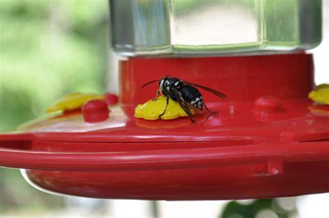 baldfaced hornet at hummingbird feeder what s that bug