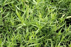 French tarragon | Space for life