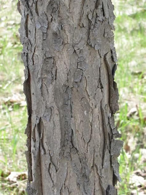 Photograph of the bark of the kentucky coffee treeen (gymnocladus dioicus en ). Kentucky Coffeetree - Glymnocladus dioicus | The Arboretum