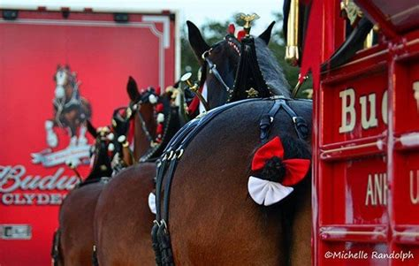 scenes   budweiser clydesdales ohio ag