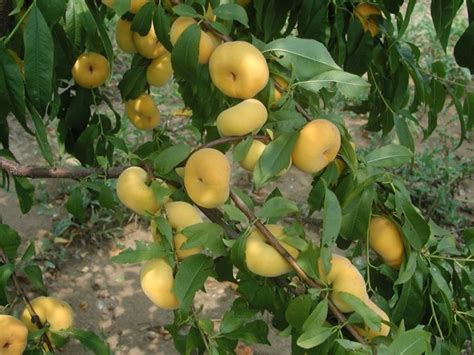 New Jersey Tree Fruit Breeder Honored For Patented Peach