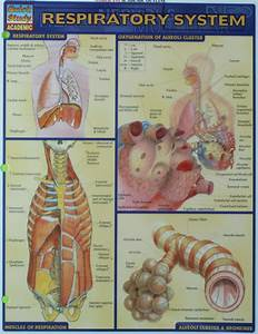 Respiratory System Study Aid  Commonly Used For Biol 355