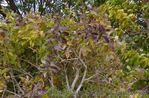 purple allamanda plant  gun hill signal station