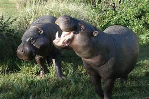 File:Pygmy hippopotamus pair.jpg - Wikimedia Commons