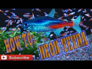 How To Care Guide Neon Tetra neon tetras biotope