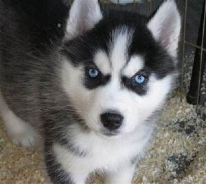 Husky Puppies With Blue Eyes For Sale - wallpaper.