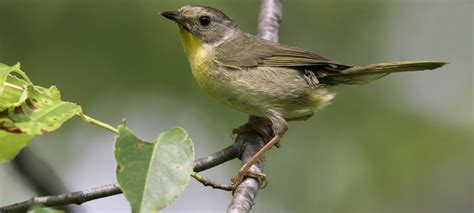 north carolina mountain birds common yellowthroat