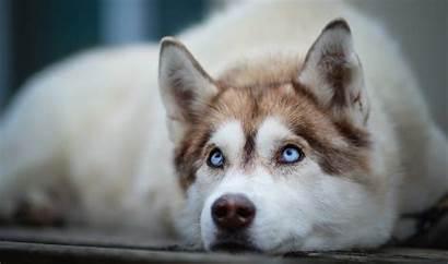 Siberian Huskies Wallpapers Husky Backround Widescreen Mobile