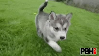Husky Gifs Huskies Siberian Puppies Cutest Dog