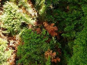 Zypresse Wird Braun : baumzypresse riesenzypresse cupressocyparis leylandii g nstig aus der baumschule online kaufen ~ Orissabook.com Haus und Dekorationen