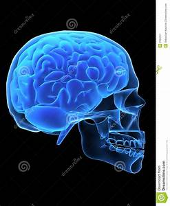 X-ray head with brain stock illustration. Image of science ...