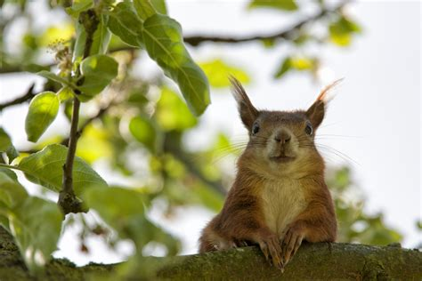 brown squirrel closeup photography  stock photo